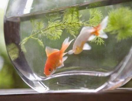 Comt gourmets se vuelven agresivos los peces en acuarios for Peces para acuarios pequenos