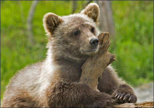 the background information of the grizzly bears found in the united states Without question, the historical presence of grizzly bears  sullivan found that  much higher numbers of hides.