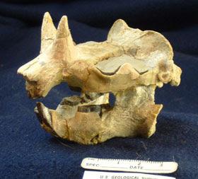 Ceratogaulus skull
