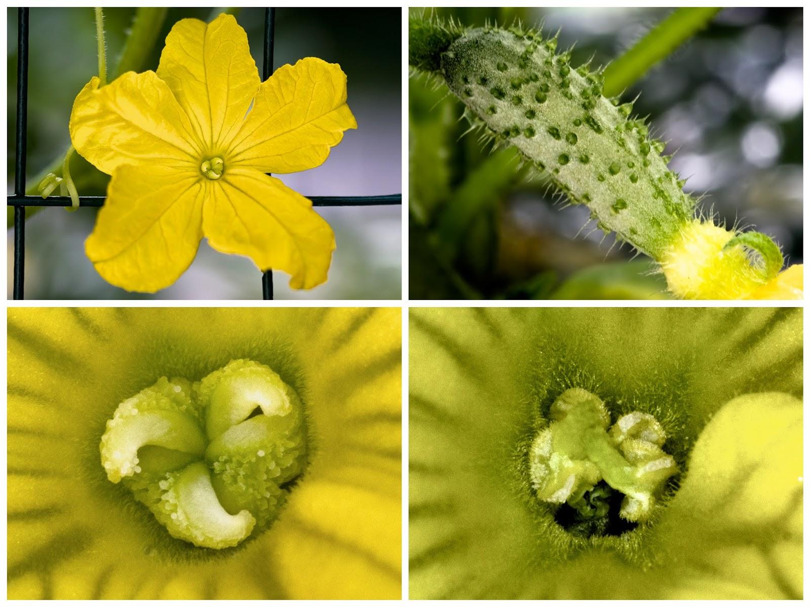 Mainenaturediary Cucumber Plants
