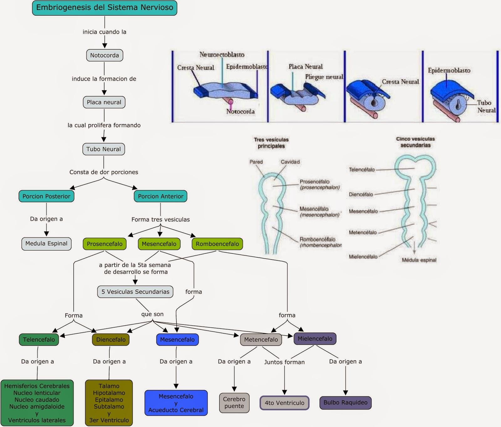 Blog de Fisiologia Medica de Miguel Angel Rivera Arce: Diagrama con ...
