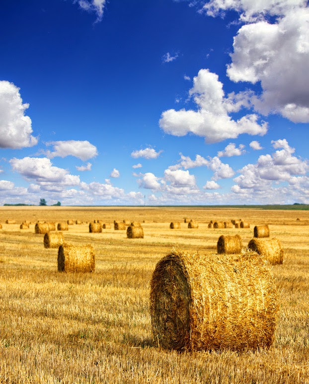 Hay fields. Fields that are not tilled after crop harvesting reflect a greater amount of solar radiation than tilled fields. This phenomenon can reduce temperatures in heat waves by as much as 2°C, as researchers have demonstrated in a recent study. (Credit: © Kokhanchikov / Fotolia) Click to enlarge.