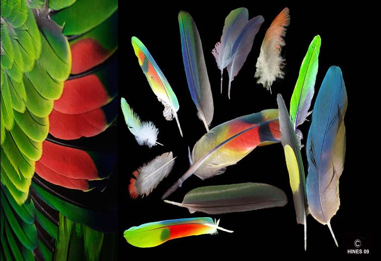 Parrot feathers - photo#15