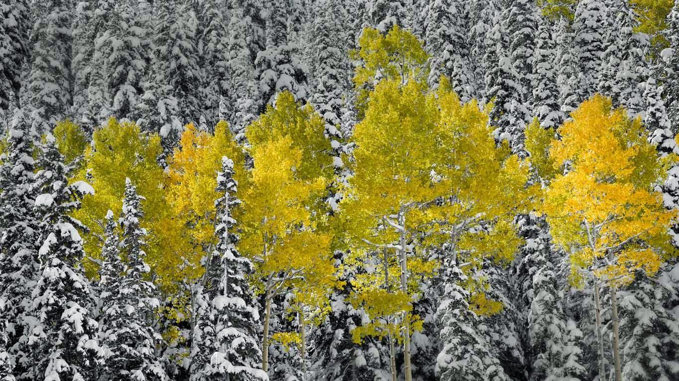 Aspen trees in autumn foliage, San Juan Mountains near Telluride, Colorado (© Sergio Ballivian/Tandem Stills + Motion) 168