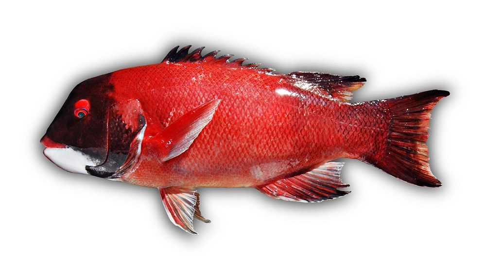 California Sheephead, Wild Pacific, Wild West Commercial Fishing, local seafood, San Diego, Tuna Harbor Dockside Market