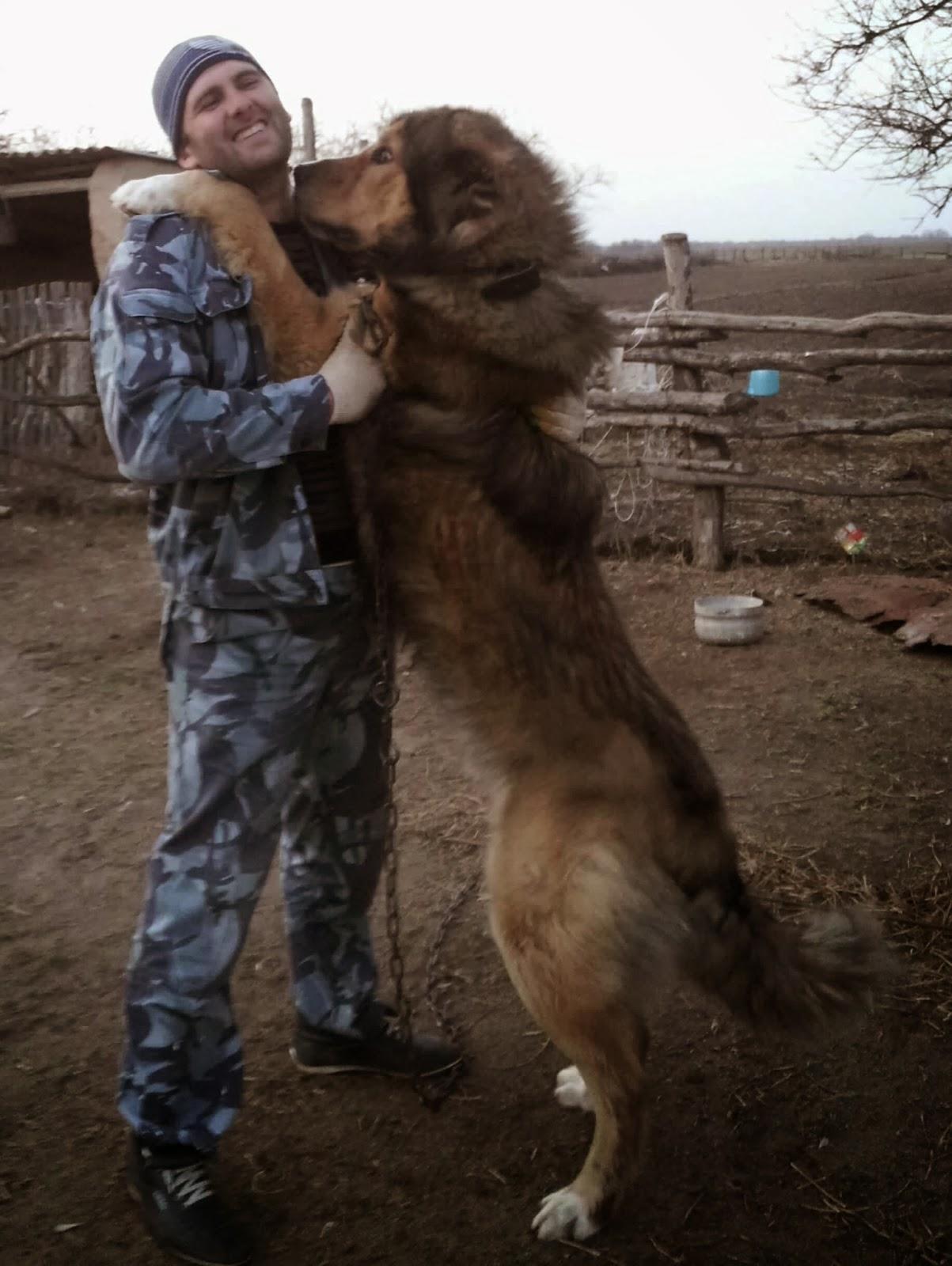 фото волкодава кавказского