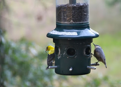 goldfinch and nuthatch at feeder