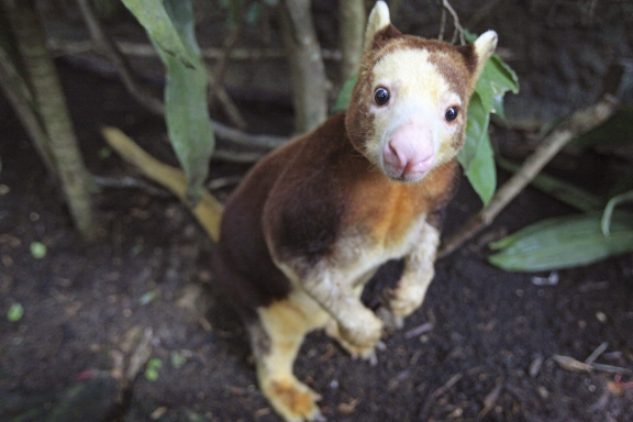 15 cutest endangered animals in the world, matschie's tree kangaroo