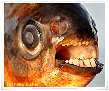 Ikan Pacu: Bergigi Sepupu dengan Piranha Asal Swedia
