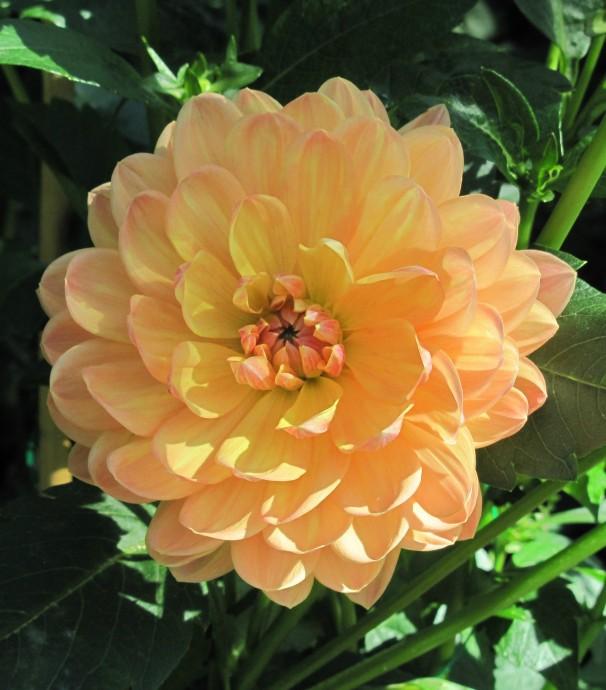 Paling Keren 11 Gambar Bunga Dahlia Pramuka Gambar Bunga Indah