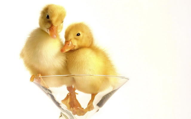 Best Jungle Life ducklings, glass, funny pictures