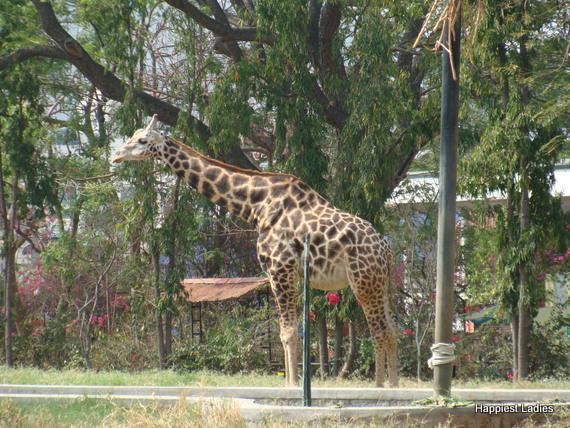 Mysore zoo giraffe