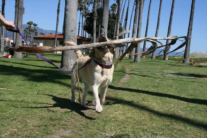 Labrador Cooper palm fronds Santa Barbara