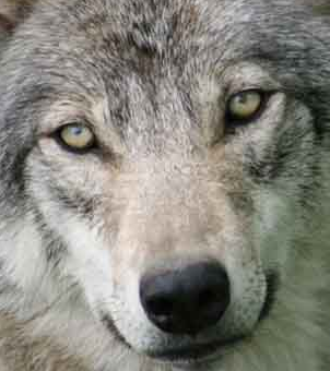 Part-Time California Wolf Declares Permanent Residency in Oregon