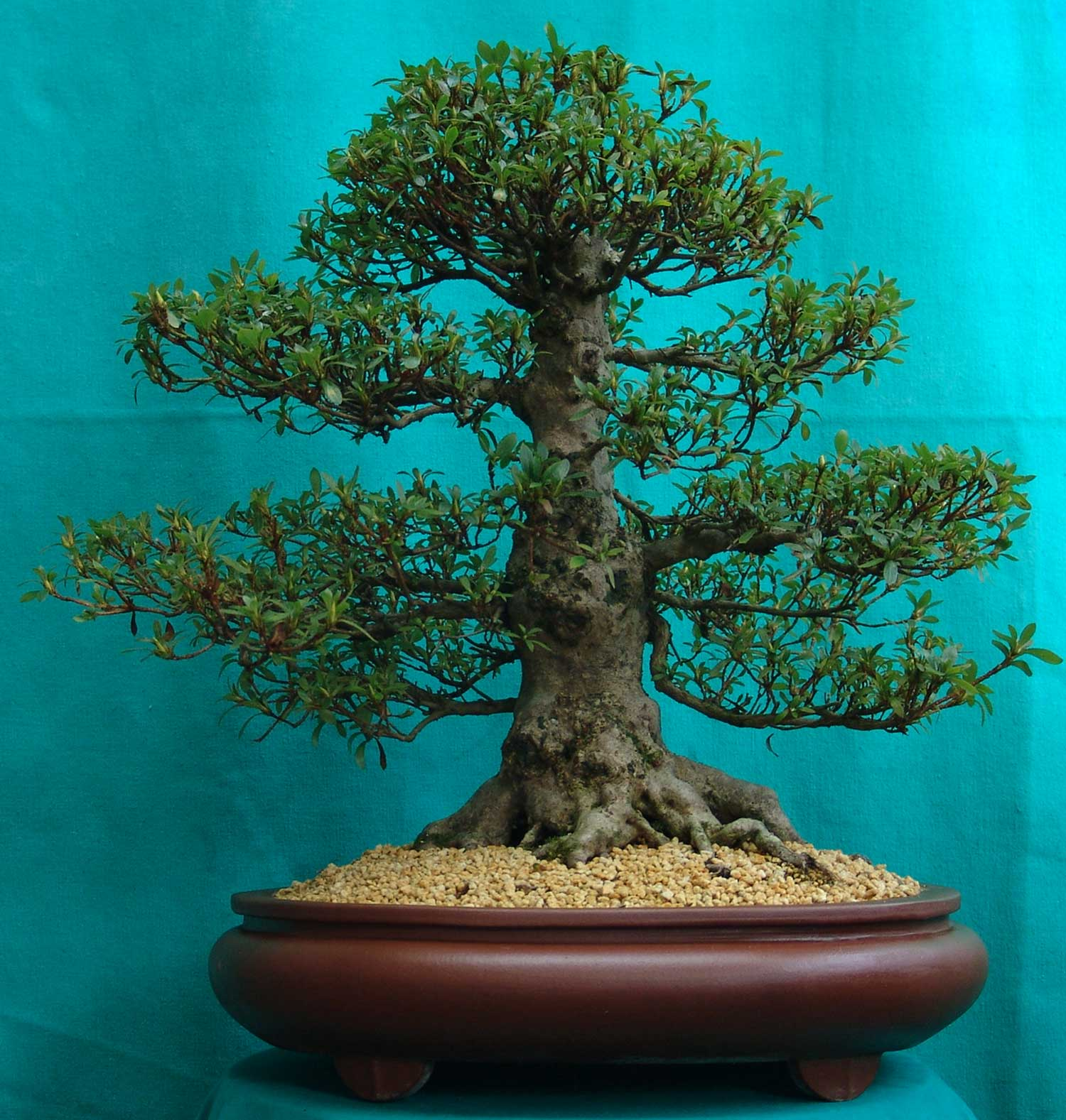 Beautiful chinese tree most expensive and beautiful tree in china
