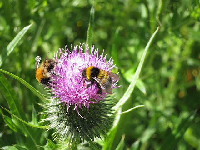 Two Bees on a Thistle: Common Carder Bee (Bombus (Thoracombus) pascuorum) and Bombus hortorum