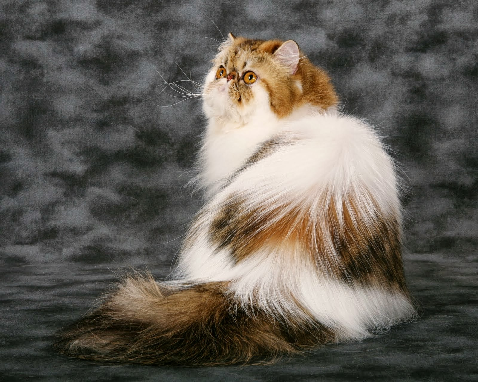 The Persian cat (Persian: گربه ایرانی Gorbe Irâni) is a long-haired breed of cat characterized by its round face and short muzzle. It is also known as the