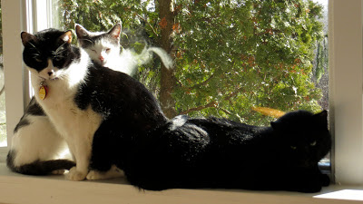 window, a black cat, gray and white cat and a black and white cat