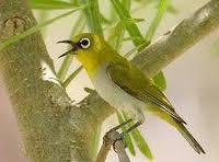 Burung kacamata,Burung pleci,burung kicau kecil