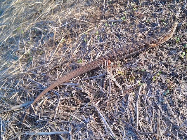 Lizard That Looks Like a Snake With Legs Lizard Looks Like a Snake