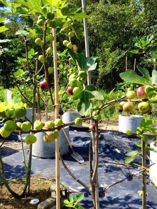 Figs : HOLGIN (Cuba)