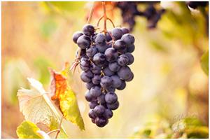 Winogrona z mojego sadu
