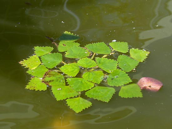 Todo jardines casta a de agua para t jard n acu tico for Planta venenosa decorativa