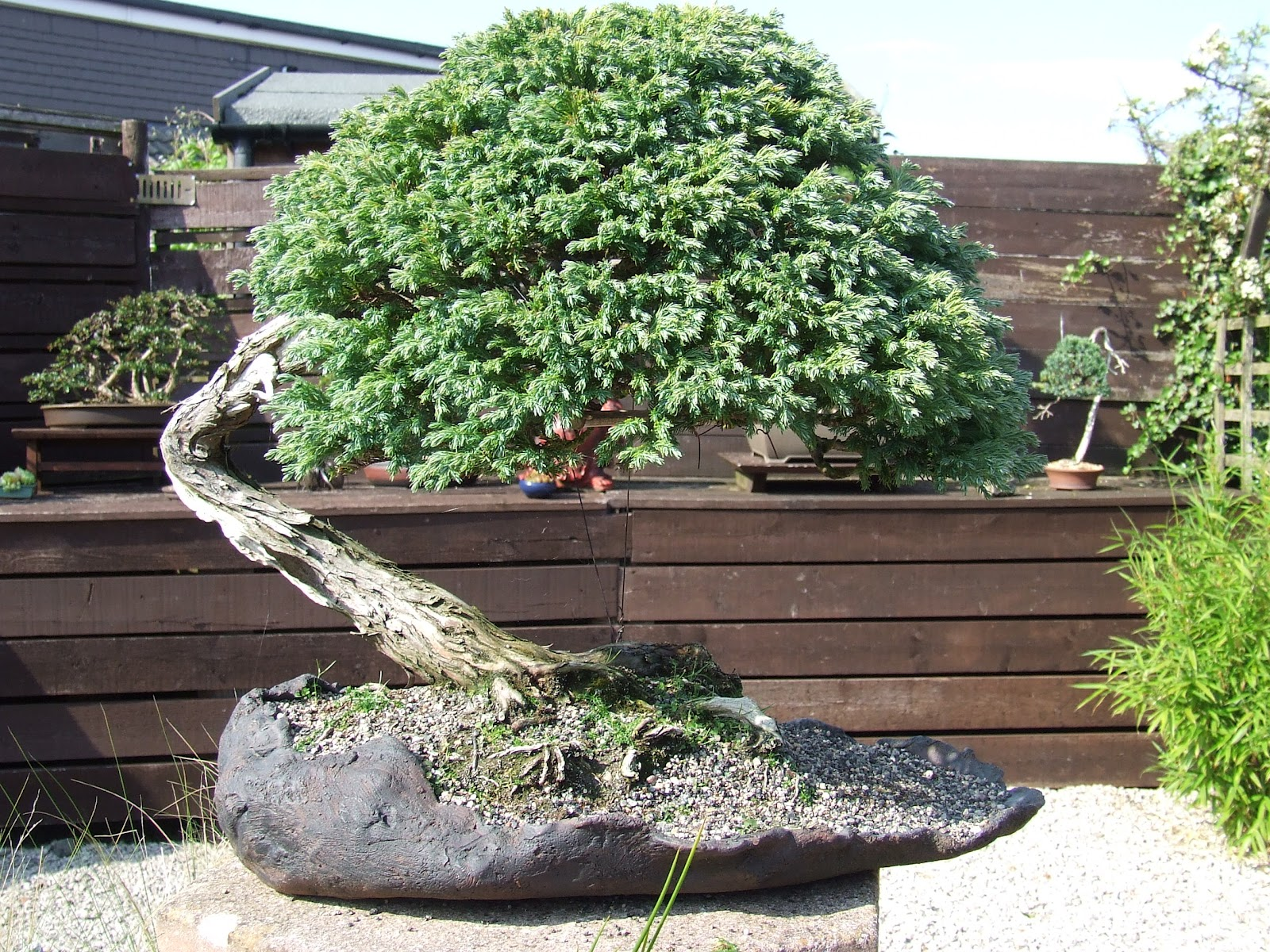 Ronin Bonsai False Cypress Boulevard