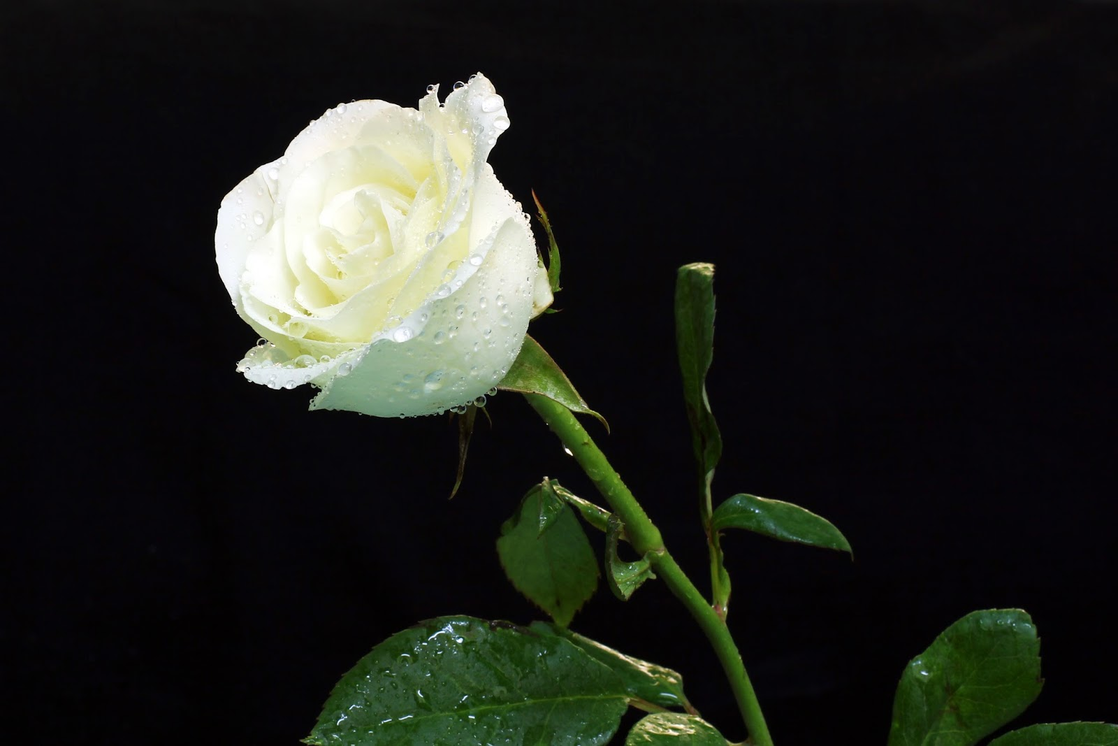 Bunga mawar putih yang indah melambangkan kemurnian. Sangat sering ...