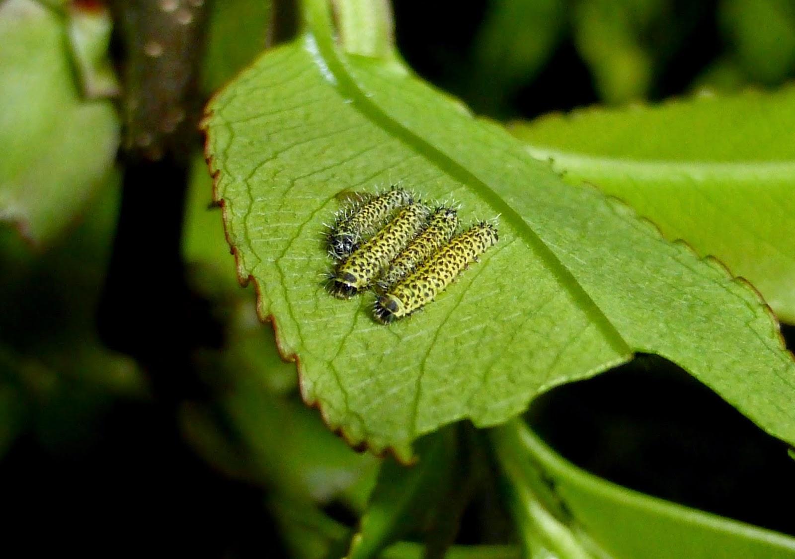 Samia cynthia walkeri caterpillars
