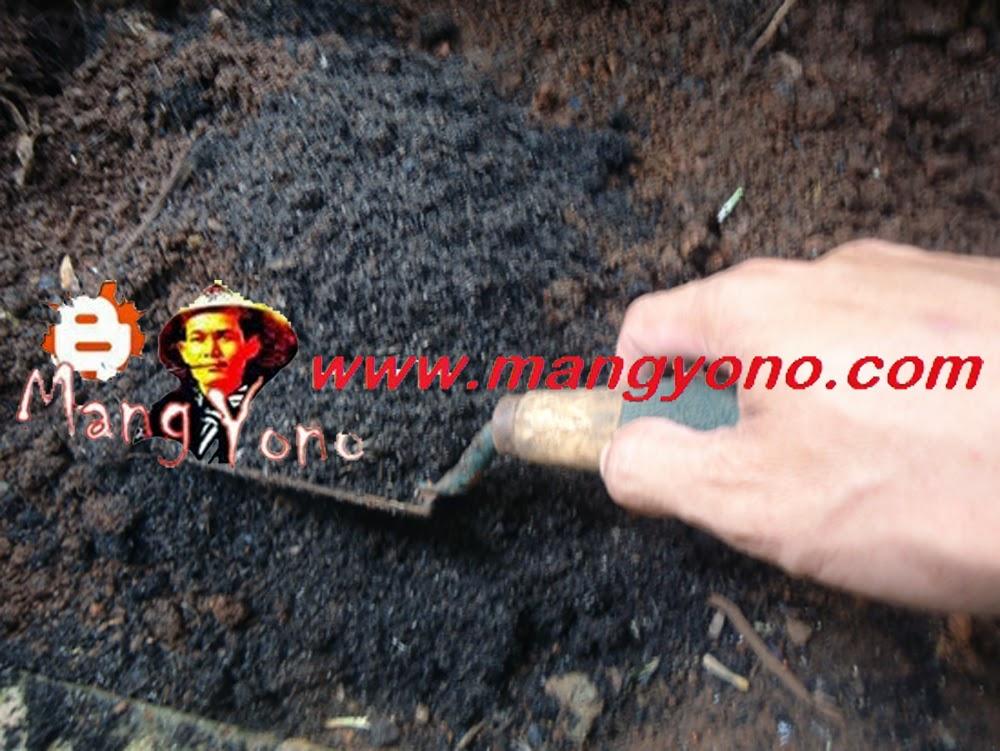 Aduk media tanah, arang sekam padi atau pupuk organik