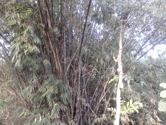 Potensi Bambu di Desa Ngrejeng Belum Optimal Dimanfaatkan