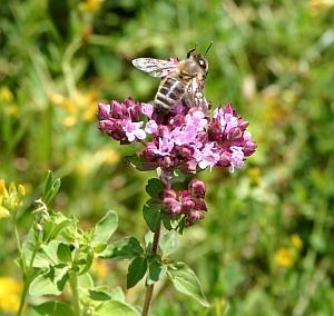 Gewöhnlicher Dost, Oregano - Origanum vulgare