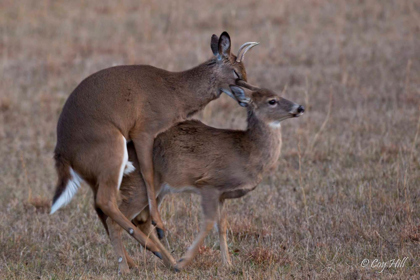 Country Captures: Whitetail Breeding Continues