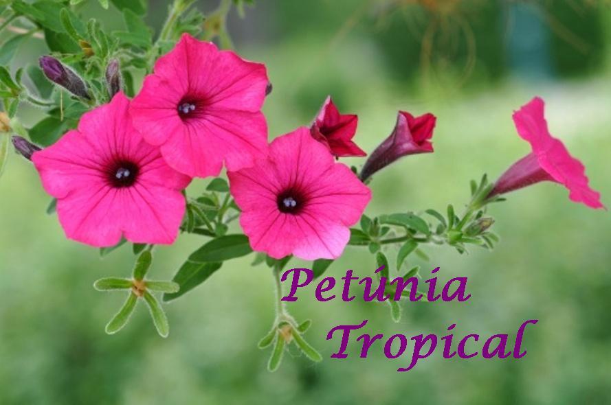 Petúnia Tropical