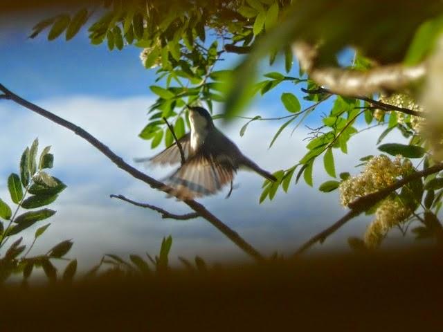 Pohjoisen kolibrin pyrähdys