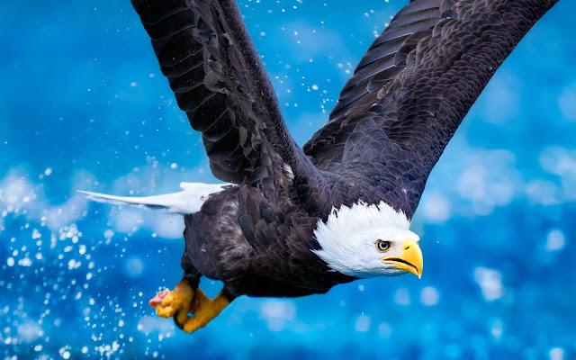 Eagle_wallpaper_hd_3