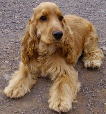 Cocker raza de perro