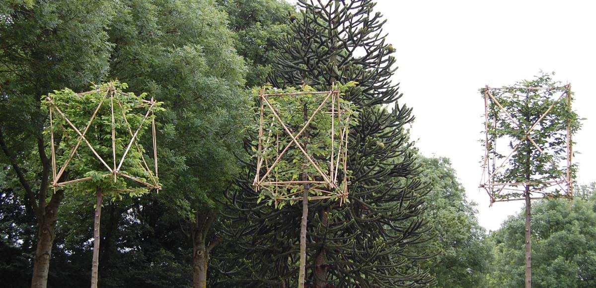 Platantræ planteskole