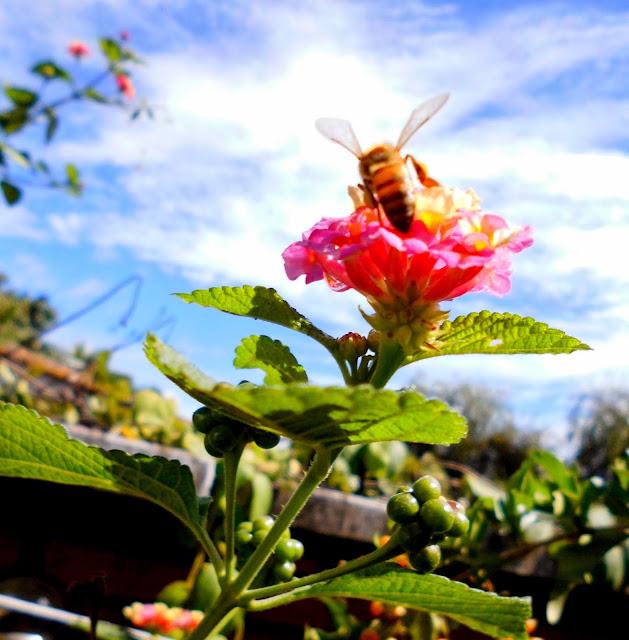 Flores de Lantana con Abeja