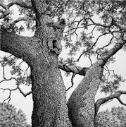 Historical Oak