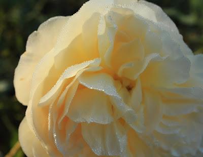 yellow, rose, dew, rain, drops, water, wet, beaded, hem, arte, Sarah Myers, S. Myers, photograph, art, gold, light