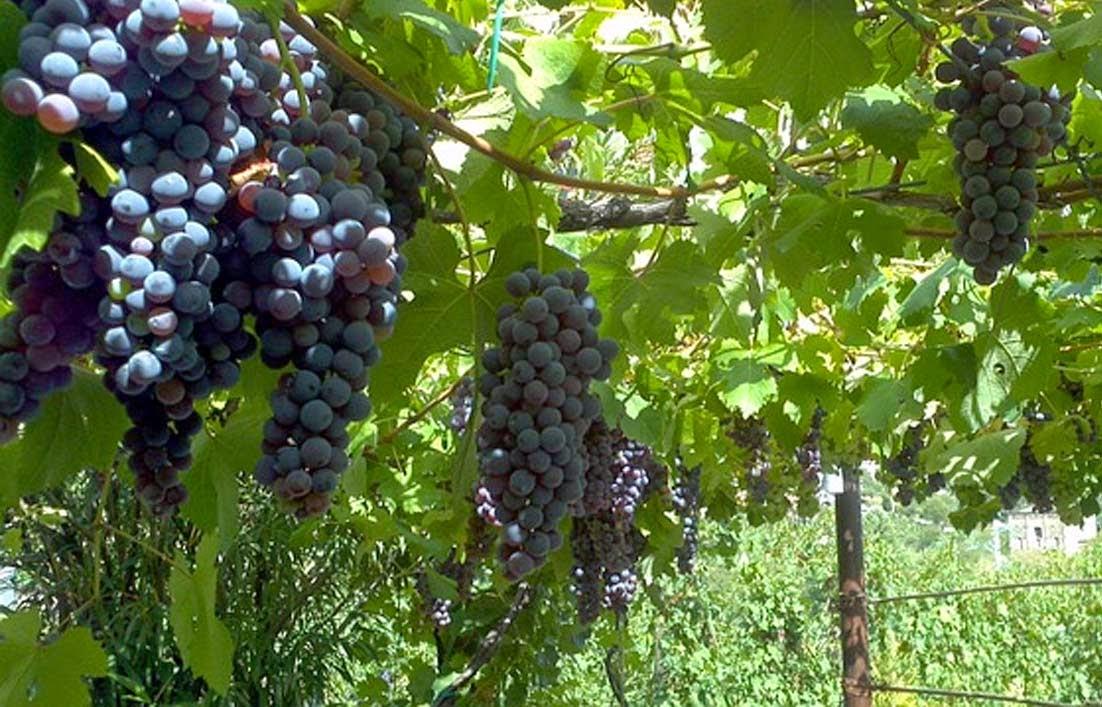 Bahaya dan Manfaat Buah Anggur bagi Ibu Hamil