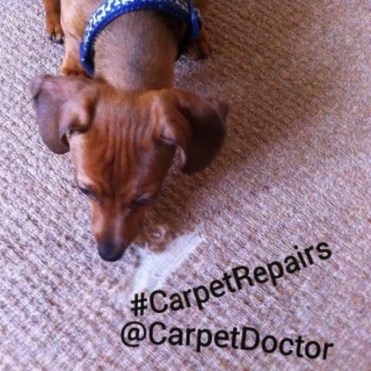 A puppy dog will pull wrag and chew a carpet playfully. Canines are also known for chewing out food or titbits caught in the yarn deep down, ...