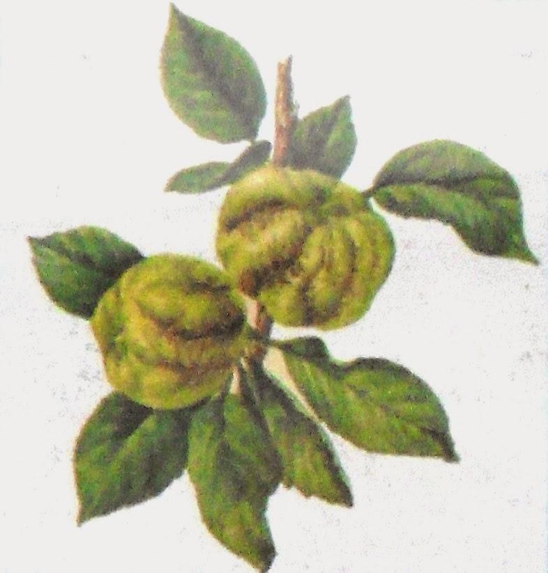 недостаток бора у яблони