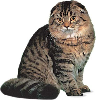 scottish fold pet cat uisdieren animaux de compagnie Haustiere animales domesticos husdjur Evcil Hayvan anifeiliaid anwes domace zvali augintiniaiuisdieren animaux de compagnie Haustiere domesticos husdjur Evcil Hayvan anifeiliaid anwes domace zvali augintiniai
