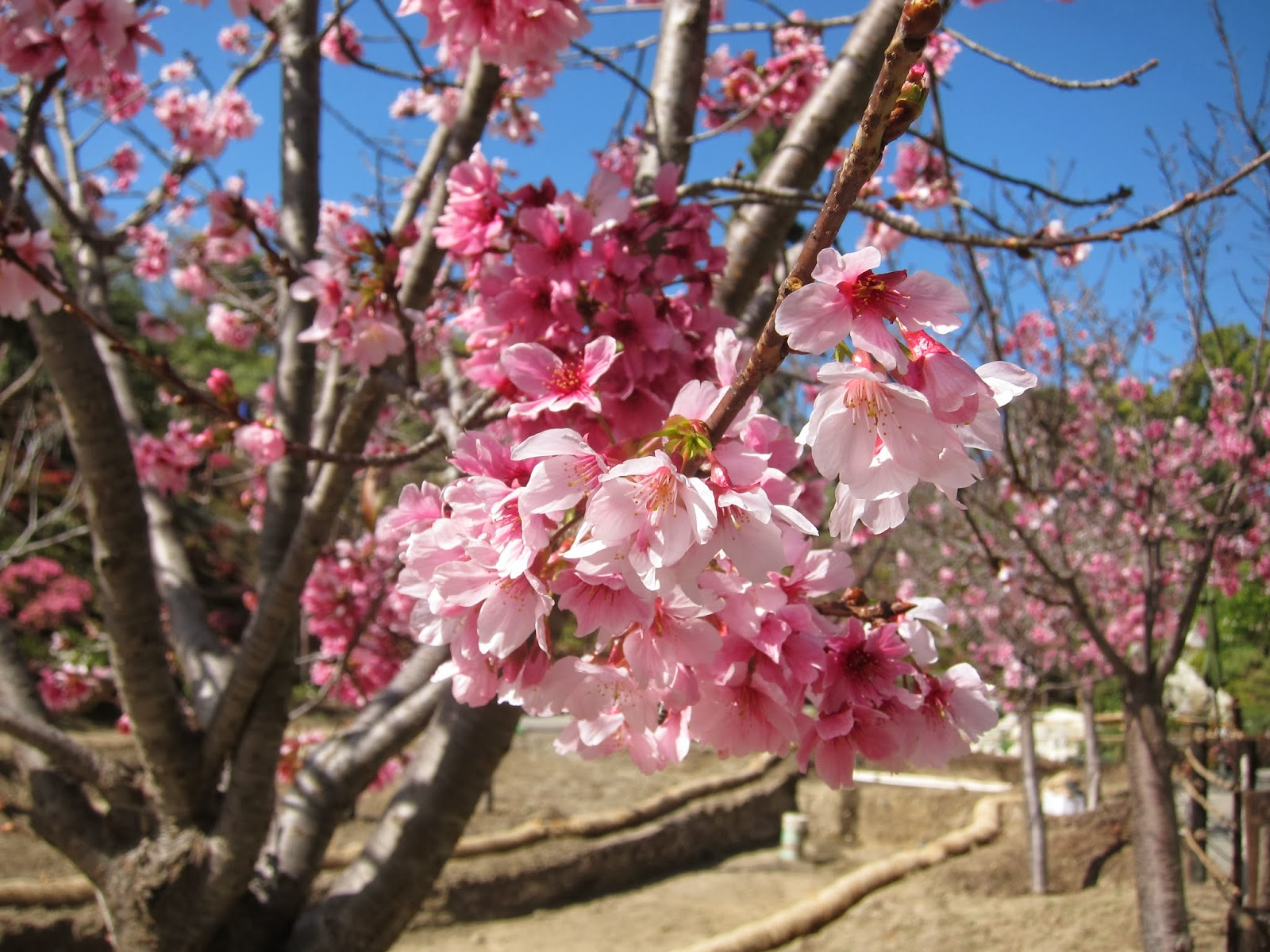 2014 Cherry Blossom Countdown One More Week Japanese Friendship