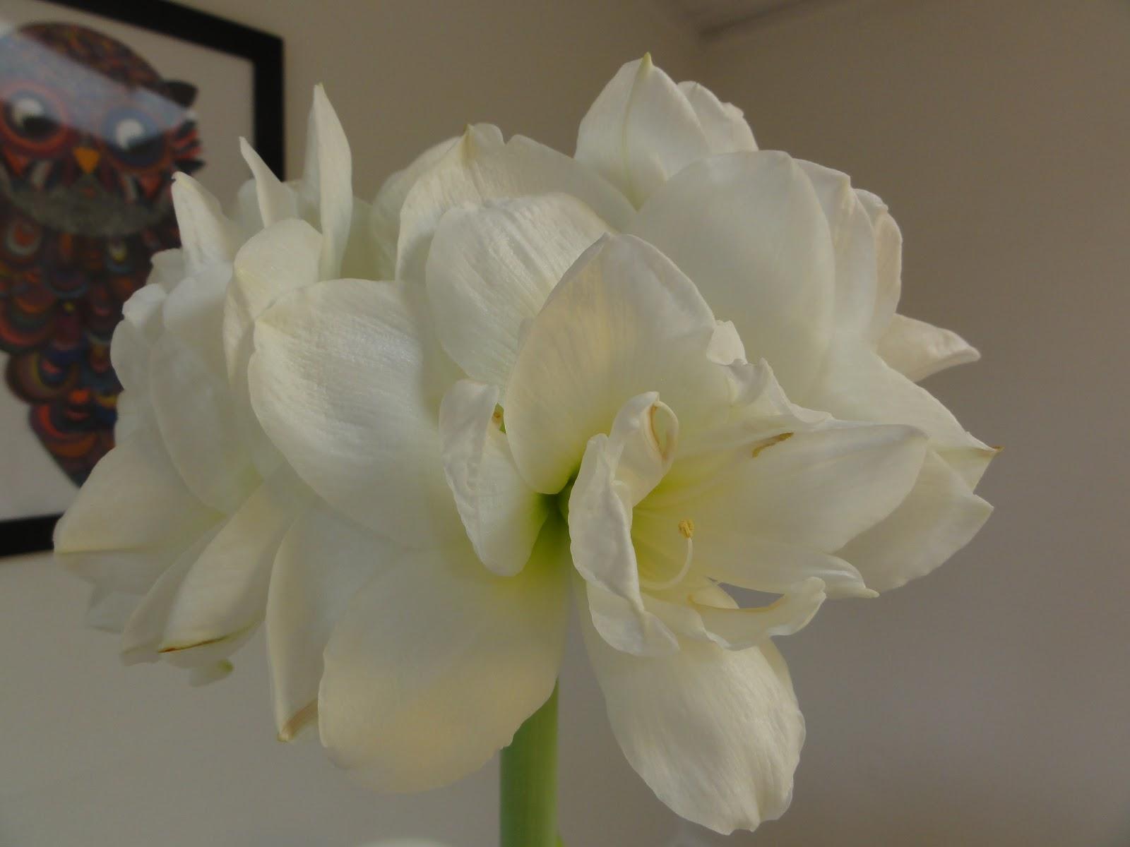 Fra frø til blomst: amaryllis og mine have julegaver