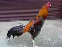 Ciri Ayam Bangkok Aduan Yang Berkualitas Bagus Laga Jawara