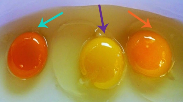 How to Tell If Your Eggs are from a sick chicken